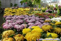 Chrysantheme_2005